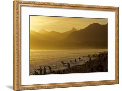 King Penguins (Aptenodytes Patagonicus) On Beach At Sunrise, South Georgia Island, March-Russell Laman-Framed Photographic Print