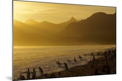 King Penguins (Aptenodytes Patagonicus) On Beach At Sunrise, South Georgia Island, March-Russell Laman-Mounted Photographic Print