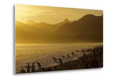King Penguins (Aptenodytes Patagonicus) On Beach At Sunrise, South Georgia Island, March-Russell Laman-Metal Print