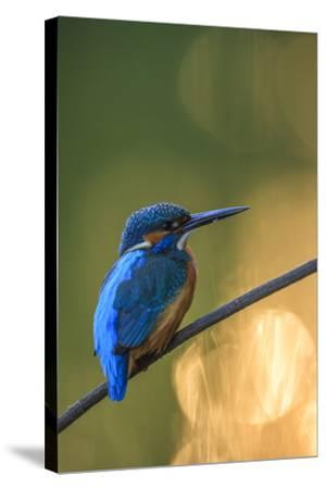 Kingfisher (Alcedo Atthis) Male Perched On Branch-Sven Zacek-Stretched Canvas Print
