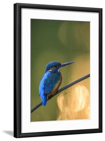 Kingfisher (Alcedo Atthis) Male Perched On Branch-Sven Zacek-Framed Photographic Print