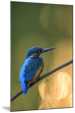 Kingfisher (Alcedo Atthis) Male Perched On Branch-Sven Zacek-Mounted Photographic Print