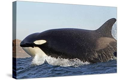 Orca (Orcinus Orca) Near At Surface Whilst Hunting Dolphin, False Bay, South Africa-Chris & Monique Fallows-Stretched Canvas Print
