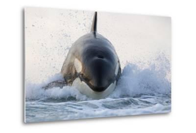 Orca (Orcinus Orca) Breaching, False Bay, South Africa-Chris & Monique Fallows-Metal Print