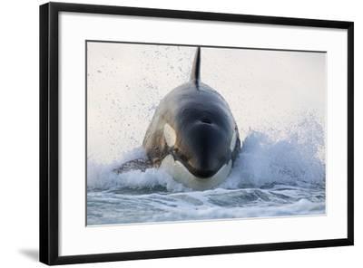 Orca (Orcinus Orca) Breaching, False Bay, South Africa-Chris & Monique Fallows-Framed Photographic Print