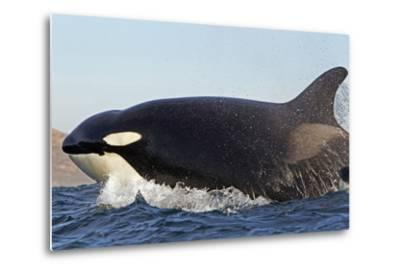 Orca (Orcinus Orca) Near At Surface Whilst Hunting Dolphin, False Bay, South Africa-Chris & Monique Fallows-Metal Print