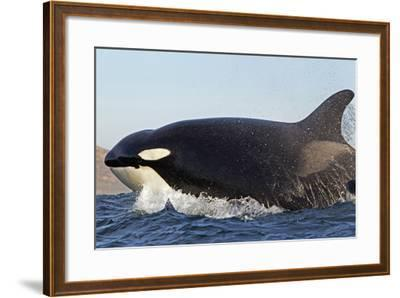 Orca (Orcinus Orca) Near At Surface Whilst Hunting Dolphin, False Bay, South Africa-Chris & Monique Fallows-Framed Photographic Print