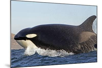 Orca (Orcinus Orca) Near At Surface Whilst Hunting Dolphin, False Bay, South Africa-Chris & Monique Fallows-Mounted Photographic Print
