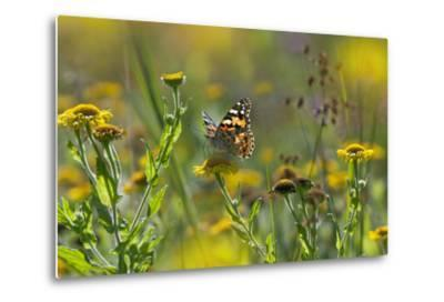 Painted Lady Butterfly (Cynthia - Vanessa Cardui) Feeding On Fleabane Flower, UK, August-Ernie Janes-Metal Print