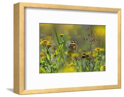Painted Lady Butterfly (Cynthia - Vanessa Cardui) Feeding On Fleabane Flower, UK, August-Ernie Janes-Framed Photographic Print