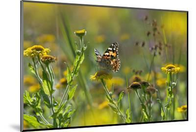 Painted Lady Butterfly (Cynthia - Vanessa Cardui) Feeding On Fleabane Flower, UK, August-Ernie Janes-Mounted Photographic Print