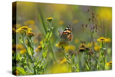 Painted Lady Butterfly (Cynthia - Vanessa Cardui) Feeding On Fleabane Flower, UK, August-Ernie Janes-Stretched Canvas Print