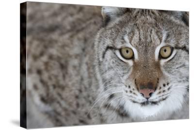 Portrait Of A European Lynx (Lynx Lynx), Captive, Norway, February-Edwin Giesbers-Stretched Canvas Print