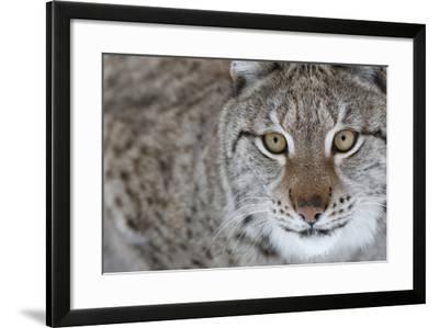 Portrait Of A European Lynx (Lynx Lynx), Captive, Norway, February-Edwin Giesbers-Framed Photographic Print