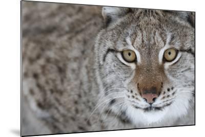 Portrait Of A European Lynx (Lynx Lynx), Captive, Norway, February-Edwin Giesbers-Mounted Photographic Print