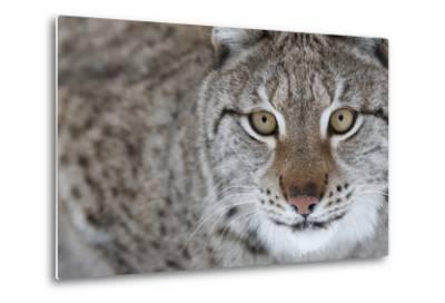 Portrait Of A European Lynx (Lynx Lynx), Captive, Norway, February-Edwin Giesbers-Metal Print