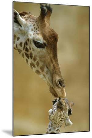 West African - Niger Giraffe (Giraffa Camelopardalis Peralta) Mother And Baby-Denis-Huot-Mounted Premium Photographic Print