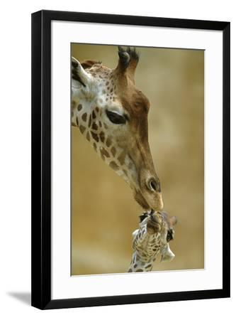 West African - Niger Giraffe (Giraffa Camelopardalis Peralta) Mother And Baby-Denis-Huot-Framed Premium Photographic Print