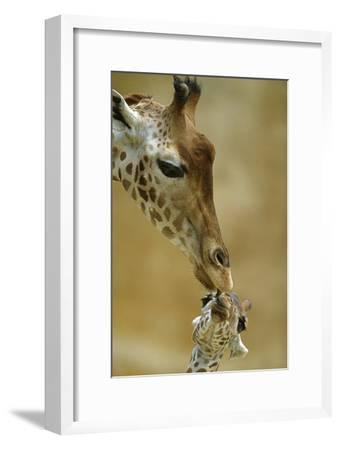 West African - Niger Giraffe (Giraffa Camelopardalis Peralta) Mother And Baby-Denis-Huot-Framed Photographic Print