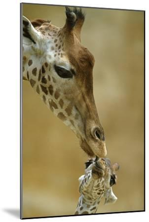 West African - Niger Giraffe (Giraffa Camelopardalis Peralta) Mother And Baby-Denis-Huot-Mounted Photographic Print