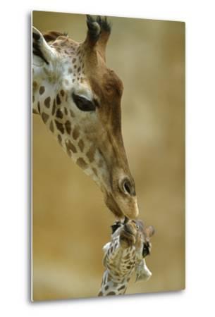 West African - Niger Giraffe (Giraffa Camelopardalis Peralta) Mother And Baby-Denis-Huot-Metal Print