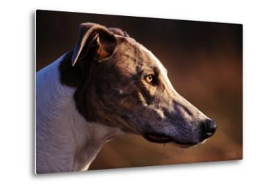 Greyhound Portrait-Adriano Bacchella-Metal Print