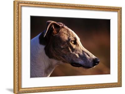 Greyhound Portrait-Adriano Bacchella-Framed Photographic Print