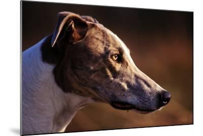 Greyhound Portrait-Adriano Bacchella-Mounted Photographic Print