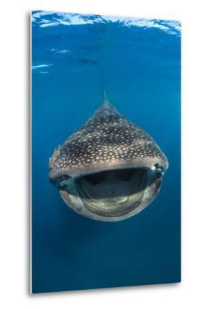 Whaleshark (Rhincodon Typus) Swimming And Filtering Fish Eggs From The Water-Alex Mustard-Metal Print