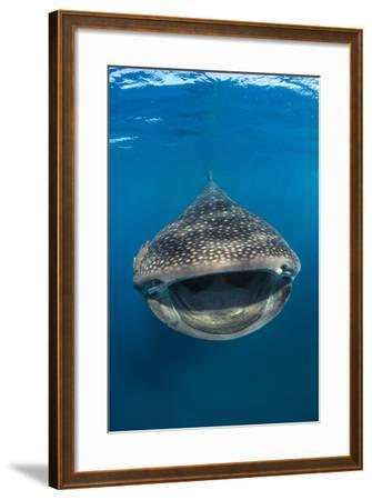 Whaleshark (Rhincodon Typus) Swimming And Filtering Fish Eggs From The Water-Alex Mustard-Framed Photographic Print
