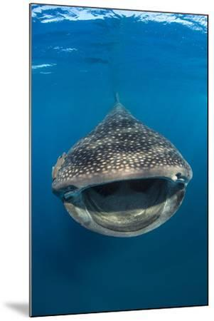 Whaleshark (Rhincodon Typus) Swimming And Filtering Fish Eggs From The Water-Alex Mustard-Mounted Photographic Print