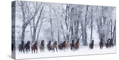 Rf- Quarter Horses Running In Snow At Ranch, Shell, Wyoming, USA, February-Carol Walker-Stretched Canvas Print