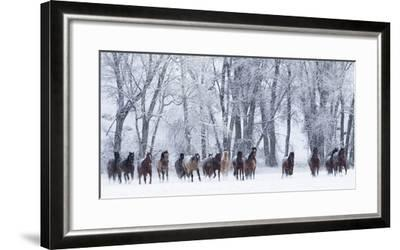 Rf- Quarter Horses Running In Snow At Ranch, Shell, Wyoming, USA, February-Carol Walker-Framed Photographic Print
