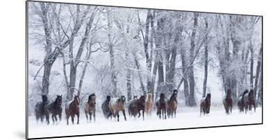 Rf- Quarter Horses Running In Snow At Ranch, Shell, Wyoming, USA, February-Carol Walker-Mounted Photographic Print