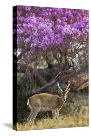Pampas Deer (Ozotoceros Bezoarticus) Buck In Velvet Standing By Flowering Tree, Pantanal, Brazil-Angelo Gandolfi-Stretched Canvas Print