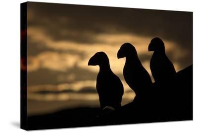 Puffin (Fratercula Arctica) Silhouettes, Hornoya, Varanger, Finnmark, Norway, May-David Pattyn-Stretched Canvas Print