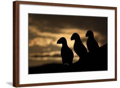 Puffin (Fratercula Arctica) Silhouettes, Hornoya, Varanger, Finnmark, Norway, May-David Pattyn-Framed Photographic Print