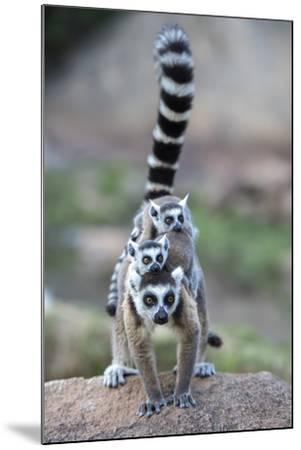 Ring-Tailed Lemur (Lemur Catta) Female Carrying Two Babies-Bernard Castelein-Mounted Photographic Print