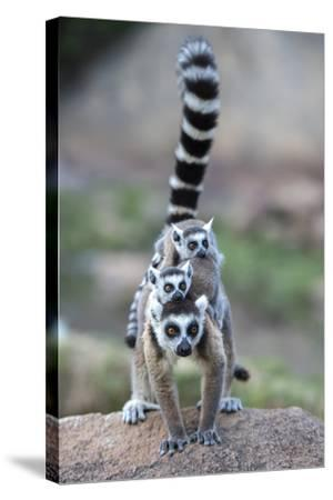 Ring-Tailed Lemur (Lemur Catta) Female Carrying Two Babies-Bernard Castelein-Stretched Canvas Print
