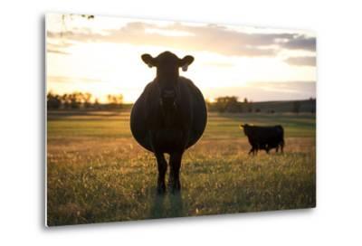 Pregant Cow Silhouetted At Sunset, On Cattle Ranch, Garfield County, Nebraska, USA. October-Cheryl-Samantha Owen-Metal Print