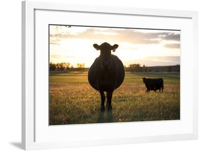 Pregant Cow Silhouetted At Sunset, On Cattle Ranch, Garfield County, Nebraska, USA. October-Cheryl-Samantha Owen-Framed Photographic Print