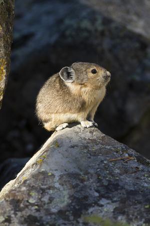 Pika (Ochotona Princeps) In Scree Rock Pile, Sheepeaters Cliff, Yellowstone National Park-Mary Mcdonald-Framed Photographic Print