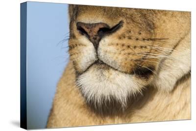 Lion (Panthera Leo) Female Close Up Of Nose An Chin, Masai Mara Game Reserve, Kenya-Denis-Huot-Stretched Canvas Print
