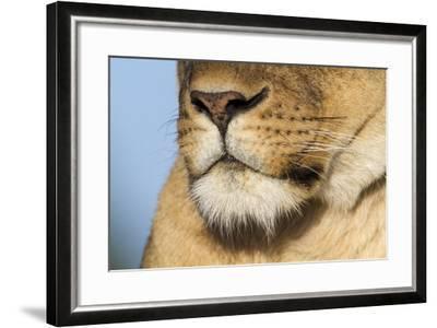 Lion (Panthera Leo) Female Close Up Of Nose An Chin, Masai Mara Game Reserve, Kenya-Denis-Huot-Framed Photographic Print