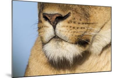 Lion (Panthera Leo) Female Close Up Of Nose An Chin, Masai Mara Game Reserve, Kenya-Denis-Huot-Mounted Photographic Print