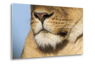 Lion (Panthera Leo) Female Close Up Of Nose An Chin, Masai Mara Game Reserve, Kenya-Denis-Huot-Metal Print
