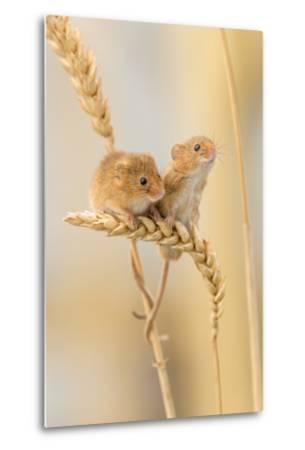 Harvest Mice (Micromys Minutus) On Wheat Stems, Devon, UK-Ross Hoddinott-Metal Print