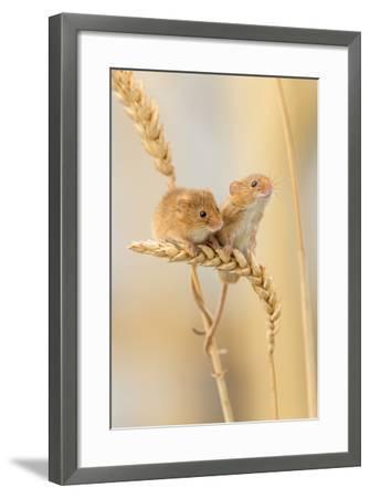 Harvest Mice (Micromys Minutus) On Wheat Stems, Devon, UK-Ross Hoddinott-Framed Photographic Print