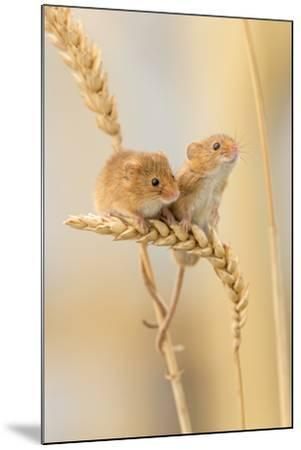 Harvest Mice (Micromys Minutus) On Wheat Stems, Devon, UK-Ross Hoddinott-Mounted Photographic Print
