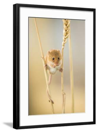 Harvest Mouse (Micromys Minutus) On Wheat Stem Feeding, Devon, UK, July. Captive-Ross Hoddinott-Framed Photographic Print
